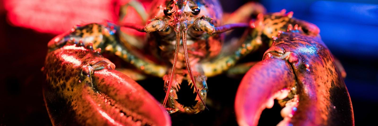 Close Up Of A Lobster
